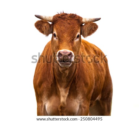 Happy brown Cow Portrait. A Farm Animal Grown for Organic Meat on a White Background - stock photo