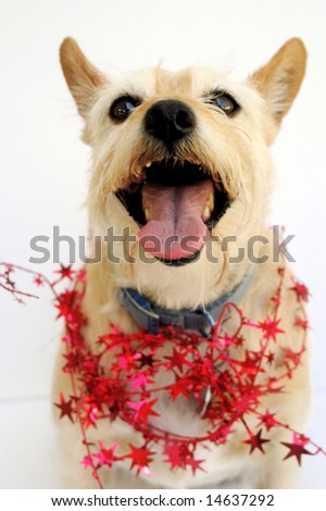 Happy brown terrier mix wearing red star garland, white background