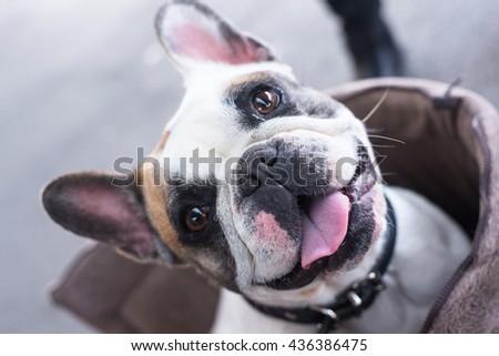 Happy bulldog  - stock photo