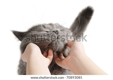 Happy cat is pleased with hand stroking. Isolated ion white - stock photo