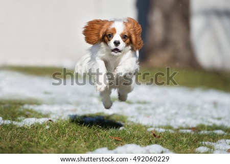 happy cavalier king charles spaniel dog jumping outdoors in winter