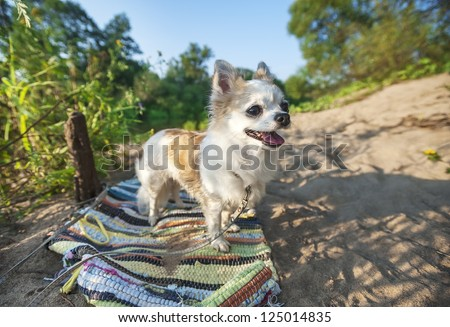 happy Chihuahua dog on summer landscape background with beach sand, green trees and blue sunny sky - stock photo
