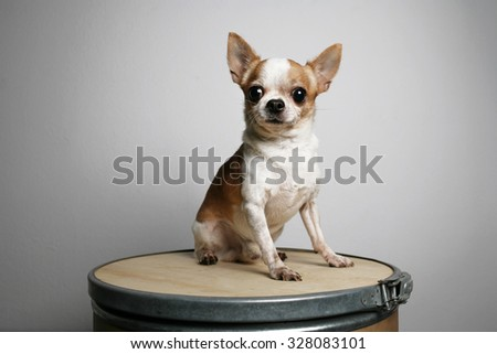 happy chihuahua dog sit on the crate