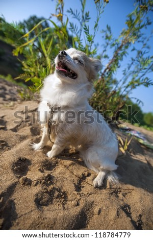 happy Chihuahua dog sitting on sandy hill and enjoying sun - stock photo