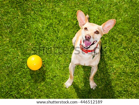 happy chihuahua terrier dog  in park or meadow waiting and looking up to owner to play and have fun together, ball on grass