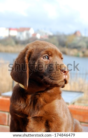 happy chocolate labrador puppy portrait close up - stock photo