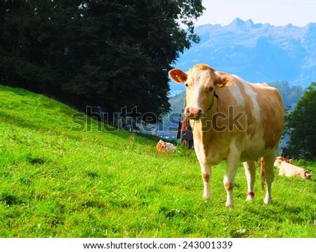 Happy cow in Liechtenstein - stock photo