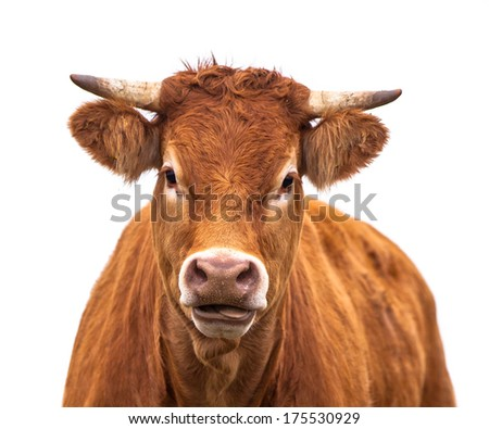 Happy Cow Portrait. A Farm Animal Grown for Organic Meat on a White Background - stock photo