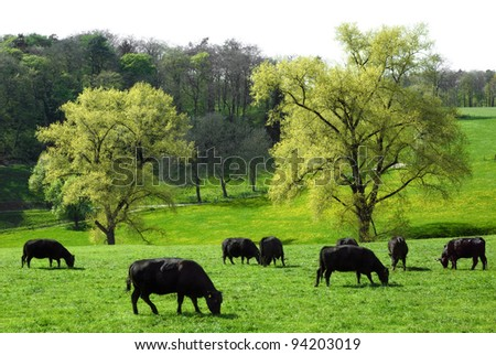 Happy cows grazing on a beautiful meadow with two huge trees in the background - stock photo