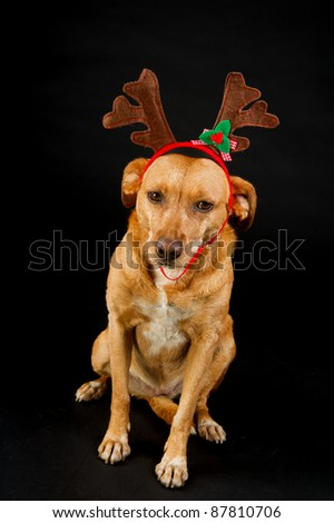 Happy cross breed Christmas dog on black background