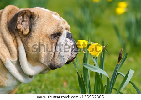 Happy cute english bulldog dog portrait in the spring field of yellow daffodils - stock photo