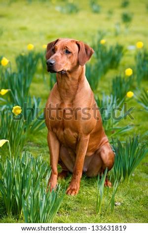 Happy cute rhodesian ridgeback dog portrait in the spring field of yellow daffodils - stock photo