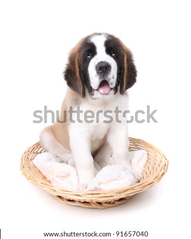 Happy Cute Saint Bernard Puppy Dog on White - stock photo