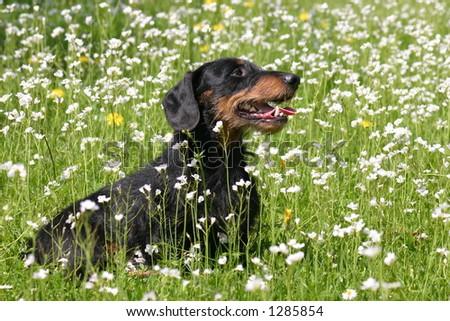 Happy dachshund - stock photo