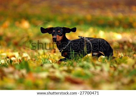 Happy dachshund dog in park - stock photo