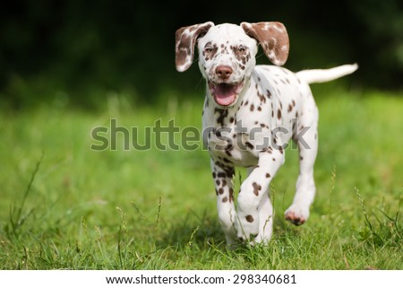 happy dalmatian puppy running outdoors - stock photo