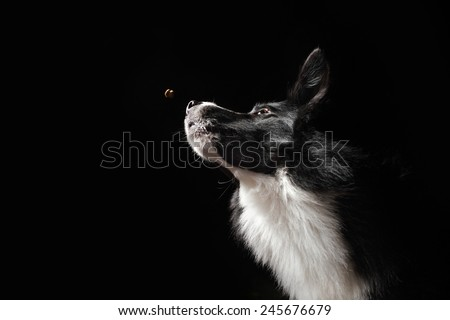 happy dog border collies shows catching food on black background
