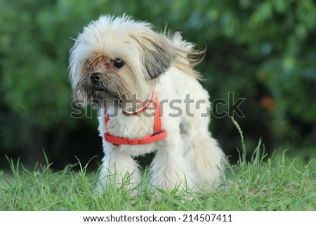 Happy dog, cute small bichon running in the park, notice shallow depth of field