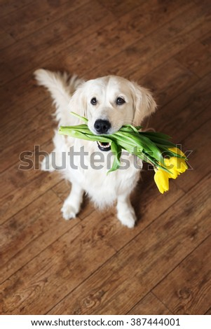 Happy dog holding yellow tulips in her mouth - stock photo