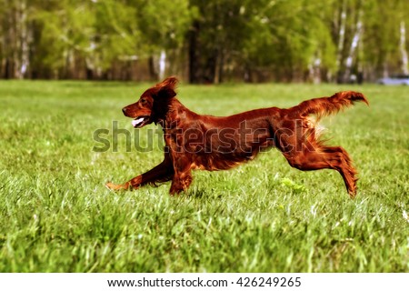 happy dog Irish setter jumping in the grass in the summer, have fun playing - stock photo