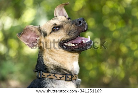 Happy dog is a happy smiling closeup of  a German Shepherd dog looking like he is laughing while playing outdoors.  - stock photo