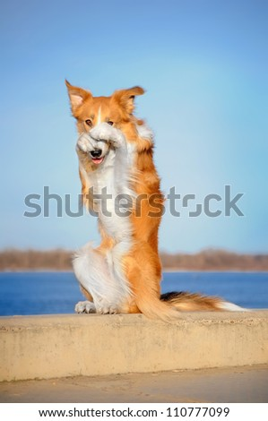 happy dog is sitting on its hind legs on the curb and closes nose paws - stock photo