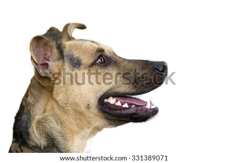 Happy dog isolated on white is a cute funny enthusiastic German Shepherd's profile looking very attentive with his mouth open and ready for what's next.. - stock photo