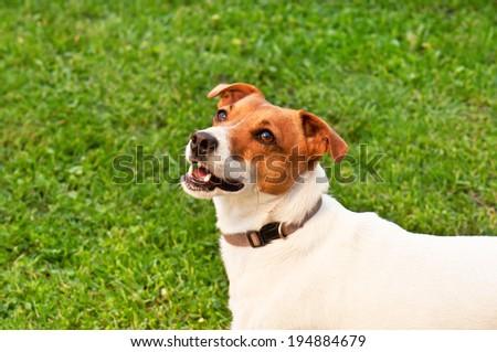 happy dog on green grass - stock photo