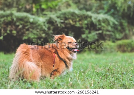 Happy dog playing in the grass. Dogs make people's lives better through their loving nature. Image of adorable golden bichon in the park with copy space for adding text or inspirational quote - stock photo