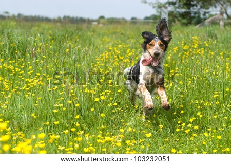 Happy dog running through a meadow with buttercups - stock photo