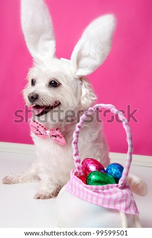 Happy dog wearing bunny ears sits beside a bag ful of easter egg chocolates.