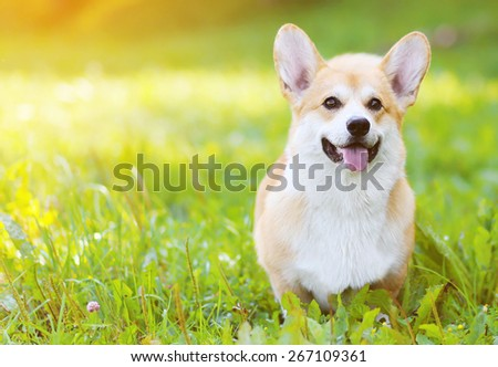 Happy dog Welsh Corgi Pembroke on the grass in summer sunny day - stock photo