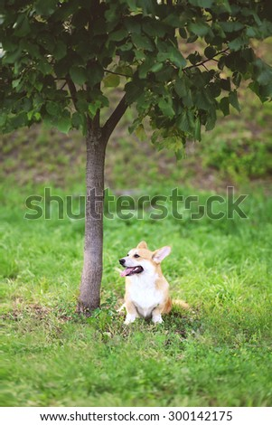 Happy dog Welsh Corgi Pembroke sitting on the grass near tree in summer day - stock photo