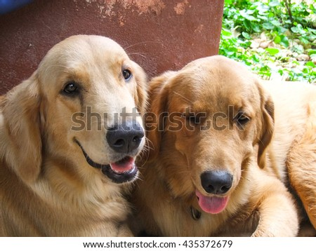 happy dogs golden retriever looking