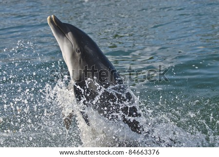 Happy dolphin performing it's act.