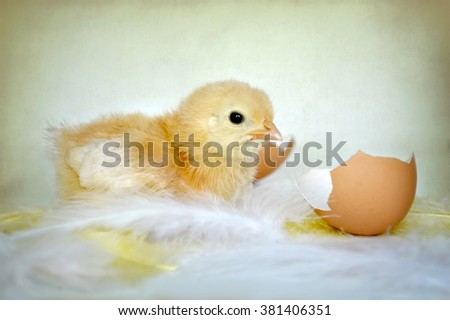 Happy Easter: Easter chicken, egg shell and feathers