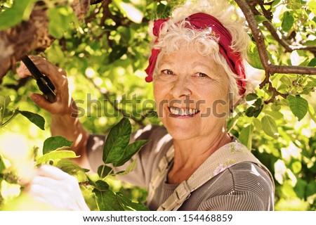 Happy elder woman pruning tree in yard - Senior female gardener working in backyard garden - stock photo
