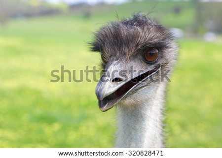 Happy emu.  Australian native flightless bird, with soft brown feathers and a long neck.  Although flightless, they can sprint up to 50km hour - stock photo