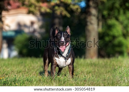 happy english bull terrier dog standing outdoors