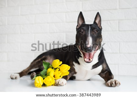 happy english bull terrier dog with yellow tulips - stock photo