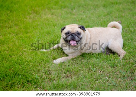 Happy face of pug dog.(Fawn pug dog lying on grass.)
