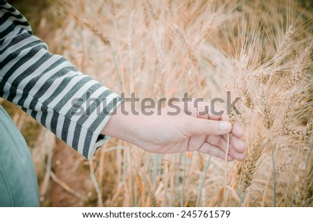 Happy family: a young beautiful pregnant woman walking in the wheat orange barley field on a sunny summer day.