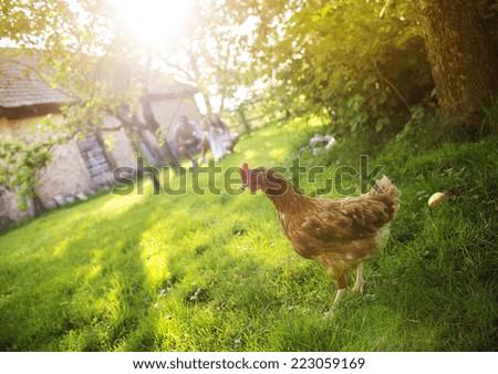 Happy free hen in garden near the old farmhouse - stock photo