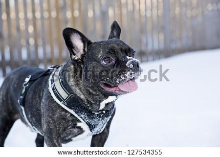 Happy french buldog dog puppet waiting for game - stock photo