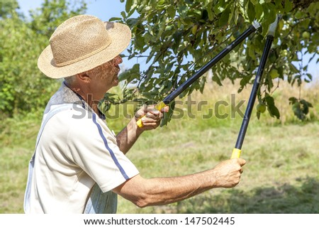 Happy gardener with straw hat and bib overalls picking organic apples from an apple tree on a lovely sunny summer day