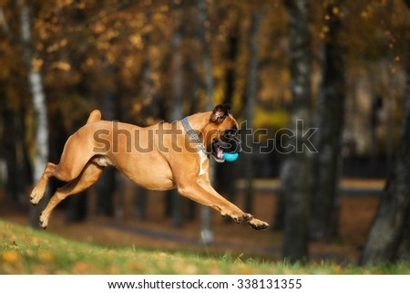 happy german boxer dog jumps outdoors - stock photo
