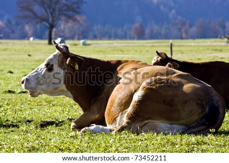 Happy German cows on green grass - stock photo