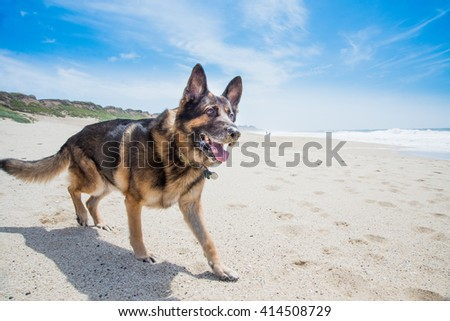 Happy German shepherd at the ocean beach on a sunny day - stock photo