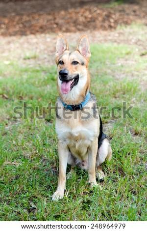 Happy German Shepherd at the park - stock photo