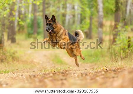 Happy german shepherd running and jumping. - stock photo